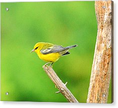 Blue-winged Warbler Acrylic Print by Judy Genovese
