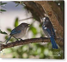 Blue Wrens 1 Acrylic Print by Serene Maisey