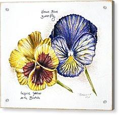Blue Yellow Pansies Acrylic Print by Katharina Filus