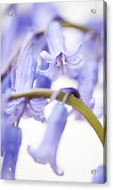 Bluebell Abstract Iv Acrylic Print by Anne Gilbert