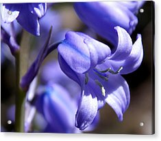 Bluebell Beauty Acrylic Print