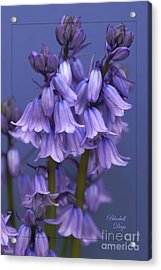 Bluebell Days Acrylic Print