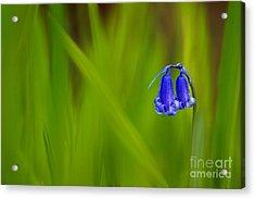 Bluebell Acrylic Print by Janet Burdon