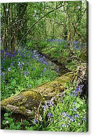 Bluebell Wood Acrylic Print by John Topman