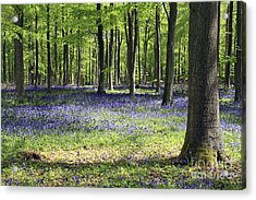 Bluebell Wood Uk Acrylic Print