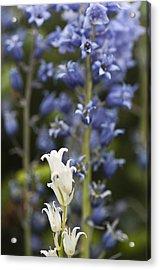 Bluebells 1 Acrylic Print by Steve Purnell