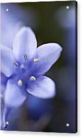 Bluebells 4 Acrylic Print by Steve Purnell
