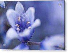 Bluebells 5 Acrylic Print by Steve Purnell