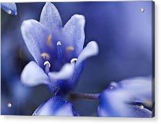 Bluebells 6 Acrylic Print by Steve Purnell