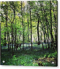 Bluebells In Pittswood  Acrylic Print