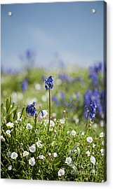 Bluebells In Sea Campion Acrylic Print by Anne Gilbert