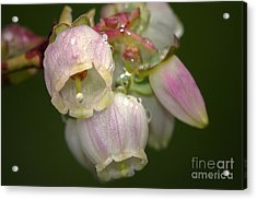 Blueberry Blossoms Acrylic Print by Sharon Talson