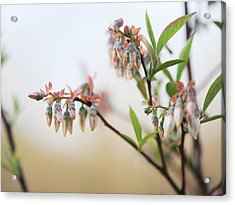 Blueberry Bush Acrylic Print by Giffin Photography