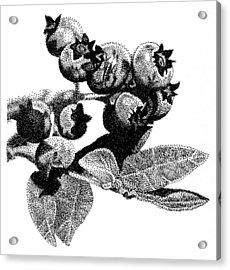 Blueberry Acrylic Print by Rob Christensen