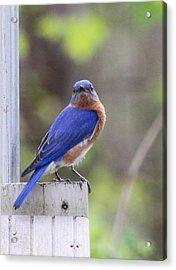 Bluebird  Acrylic Print by Brad Fuller