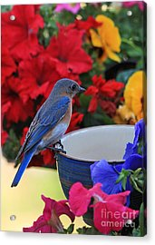 Bluebird Breakfast Acrylic Print