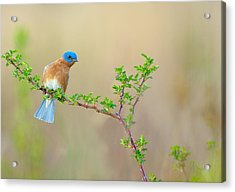 Bluebird Breeze Acrylic Print
