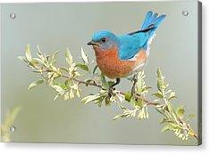 Bluebird Floral Acrylic Print