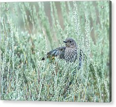 Bluebird In Sage Acrylic Print by Yeates Photography