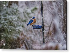 Bluebird In Snow Acrylic Print