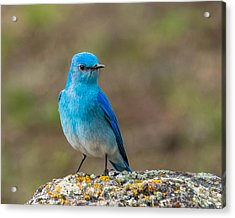 Bluebird In Yellowstone Spring Acrylic Print