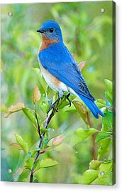 Bluebird Joy Acrylic Print by William Jobes