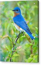 Bluebird Joy Acrylic Print