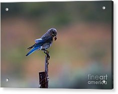 Bluebird Lunch Acrylic Print by Mike  Dawson