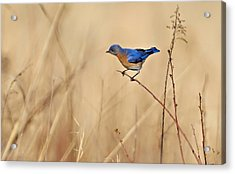 Acrylic Print featuring the photograph Bluebird Meadow by William Jobes