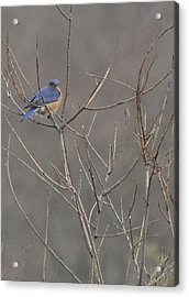 Bluebird On A Branch Acrylic Print by Sarah Boyd