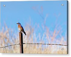 Bluebird On A Post Acrylic Print by Mike  Dawson