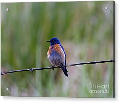 Bluebird On A Wire Acrylic Print by Mike  Dawson