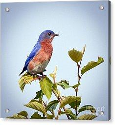 Bluebird On Top Acrylic Print by Kerri Farley
