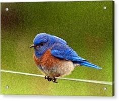 Bluebird  Painting Acrylic Print by Jean Noren