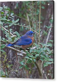 Acrylic Print featuring the photograph Bluebird by Patricia Schaefer