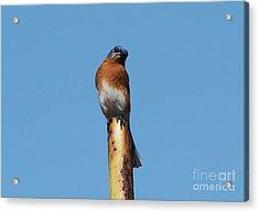 Bluebird Acrylic Print by Theresa Willingham