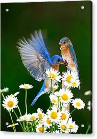 Bluebirds And Daisies Acrylic Print
