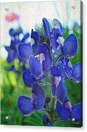 Bluebonnet Charmer Acrylic Print by TK Goforth