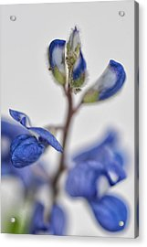Acrylic Print featuring the photograph Bluebonnet by Susan D Moody