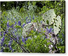 Bluebonnets And Cactus Acrylic Print by Ron Grafe