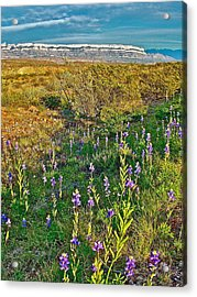 Bluebonnets And Creosote Bushes In Big Bend National Park-texas Acrylic Print by Ruth Hager