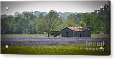 Bluebonnets By The Barn Acrylic Print