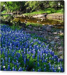 Bluebonnets By The Stream Acrylic Print