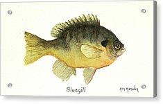 Bluegill Acrylic Print