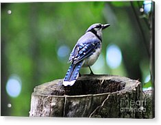 Acrylic Print featuring the photograph Bluejay by Alyce Taylor