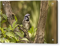 Acrylic Print featuring the photograph Bluejay In Fork Of Tree by Anne Rodkin