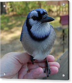 Acrylic Print featuring the photograph Bluejay by Mim White