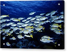 Bluelined Snappers And Yellowspot Emperors Acrylic Print