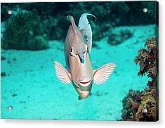 Bluespine Unicornfish By A Reef Acrylic Print
