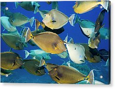 Bluespine Unicornfish Over A Reef Acrylic Print